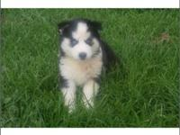 Lovely blue eyes Siberian Husky, Black & white