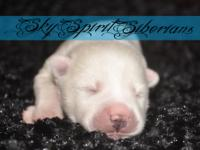 BOY 5 3 male puppies available Born December 8th Our