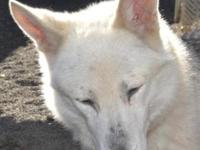 Siberian Husky - Casper - Medium - Adult - Male - Dog
