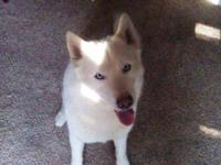 Siberian Husky - Dakota - Large - Adult - Male - Dog