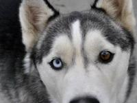 Siberian Husky - Desna - Medium - Young - Male - Dog