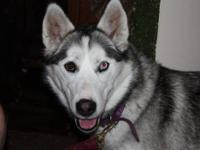 Siberian Husky - Elle (ellie) - Medium - Young - Female