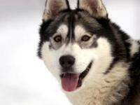 Siberian Husky - Enoch (adoption Pending) - Medium -