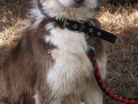 Beautiful dark red full blood female siberian husky.