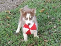 This puppy is red and white with 2 blue eyes. She is