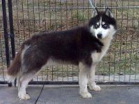 I have a one year old male husky for sale. He's up to
