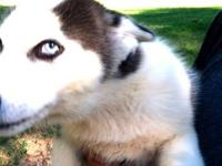 Siberian Husky - Jelly - Small - Young - Dog