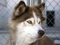 Siberian Husky - Leia - Medium - Adult - Female - Dog