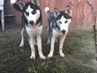siberian husky male$500 this nice boy have 5 months