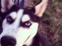 I have a male Siberian Husky 4 month old Male puppy for