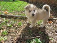 Akc siberian husky pups. Posted are 3 males from