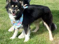 Siberian Husky - Mischief - Medium - Adult - Female -