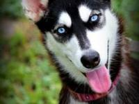 Siberian Husky - Princess - Medium - Young - Female -