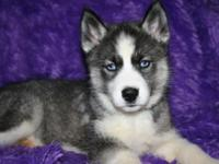 ALC REG HUSKY PUPS PARENTS ON SITE .SHOTS AND