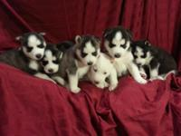 6 complete blooded Siberian Huskies young puppies were
