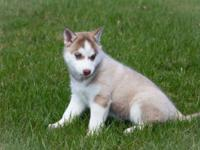 Siberian husky puppies .2 males and 2 females left