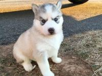 Siberian Husky puppies $750. High quality AKC