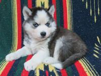 Siberian husky puppies were born 12/7/12. They will be