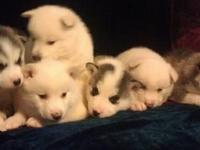 I have 7 CKC registered Siberian Husky puppies. Now