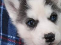 Siberian husky puppies were born 1/11/13. They will be