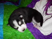 We just had a litter of Siberian Husky Puppies! Born