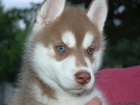 AKC Siberian husky pups for adoption.  1 male and