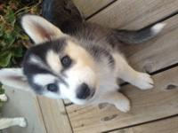 2 adorable husky puppies for sale! $700. firm. No AKC