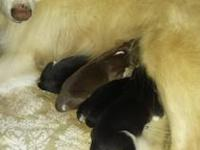 Our Solid white Siberian Husky had a litter of pups on