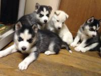Taking deposits on Siberian husky puppies. Born on 9/20
