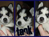 I have three male pure bred Siberian Husky puppies for