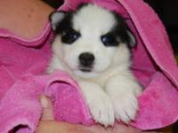 Adorable wolley coated siberian husky puppies.They have