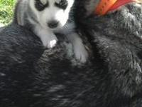Black and White Siberian Husky!! Males and females
