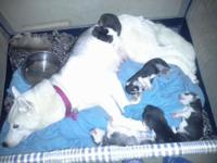 Hi , my female had a litter of 6 beautiful purebred