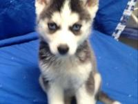 PureBred Siberian husky puppies now readily available