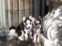 I HAVE 4 SIBERIAN HUSKY PUPPIES. THEY ARE 7 WEEKS OLD.