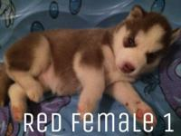 Siberian husky puppies! Had first set of shots,