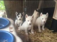 Akc registered Siberian husky puppies ready to go,