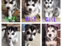 Our two huskies Atticus and Zooey just had a litter of