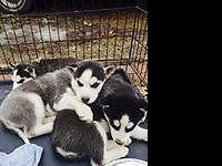 Lovable Husky young puppies, AKC registered, born