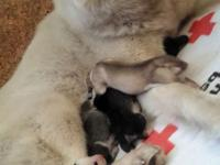 I have 7 beautiful purbread Siberian husky puppies that