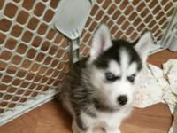 (Two) 6week old male purebred Siberian husky puppies.