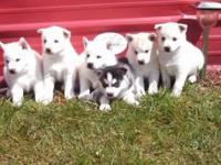 Registered Siberian Husky puppies for sale!! Males and