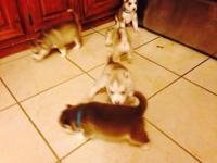 Se venden hermosos puppies siberian husky con Papeles
