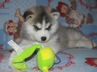 Animal Type: Dogs 2 Siberian Husky Puppies For Rehome