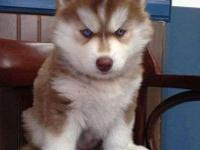 Animal Type: Dogs husky puppies ready to go home and we