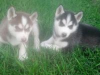 I have red and white and black and white Siberian husky