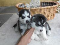 These gorgeous Siberian husky Puppies are family raised
