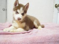 - Seven purebred Siberian Huskies were born on Sept.
