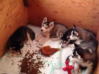 5 male Siberian husky pups Born August 26th, will be