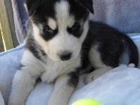 Siberian husky puppies,,only text  405  655 x